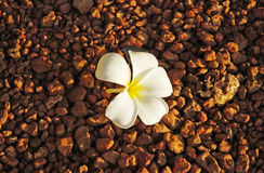 White flower. Tropical flower on the ground royalty free stock photography