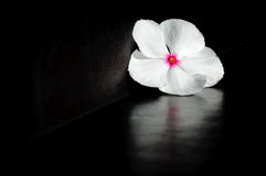 White flower. On a black background Royalty Free Stock Images