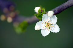 White Flower. Isolated white blossom Stock Image
