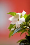 White Flower. In a red background Royalty Free Stock Photography