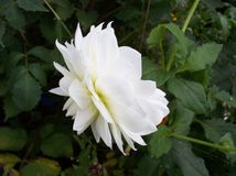 White flower. White garden flower Stock Photo