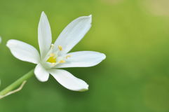 White flower. A lonely white flower in green background Royalty Free Stock Photos