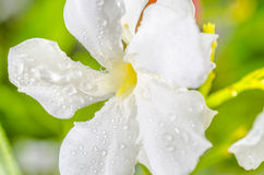 White flower. Macro five petals white flower with dew stock image