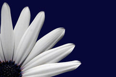 White Flower. Partial white flower on dark blue background Royalty Free Stock Photo