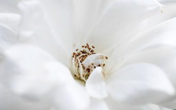 White flower stock photography