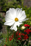 White flower. With red flower in the background Royalty Free Stock Image