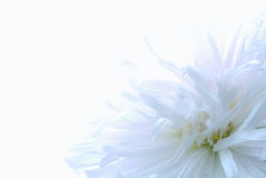 White Flower Stock Photos