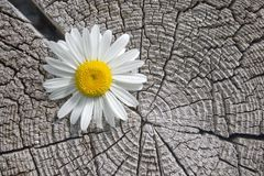 White flower. White flower on a background of an old tree Royalty Free Stock Image
