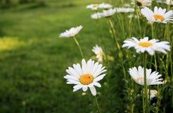 White Flower. From Rose Gardem Stock Photography