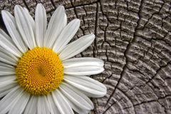 White flower. On a background of an old tree Stock Photo