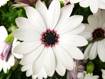White flower Royalty Free Stock Photography