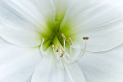 White flower. A close up from a white amaryllis Stock Photo