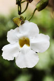 White Flower. Of a vine Royalty Free Stock Photography