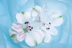 White flower. On azure background Stock Photos