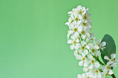 White Flower A Bird Cherry Stock Photography