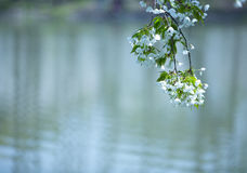 White flower above the water Royalty Free Stock Images