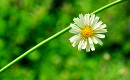 White flower against green. A closeup to a little white flower with fresh green background Stock Photos
