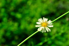 White flower against green. A closeup to a little white flower with fresh green background Royalty Free Stock Photo