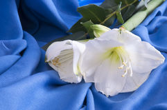 White flower amarillo. A white flower amarillo on a blue background Royalty Free Stock Image