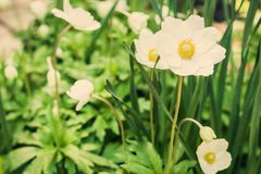White flower Anemone in blossom with green leaves texture background, plants in a garden.  royalty free stock photography