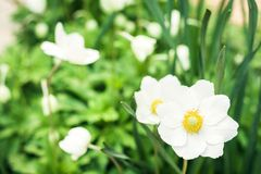 White flower Anemone in blossom with green leaves texture background, plants in a garden.  stock images