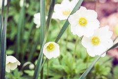 White flower Anemone in blossom with green leaves texture background, plants in a garden.  royalty free stock photo
