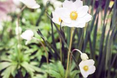 White flower Anemone in blossom with green leaves texture background, plants in a garden.  royalty free stock image