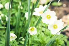 White flower Anemone in blossom with green leaves texture background, plants in a garden.  stock photography