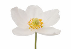 White flower anemone Dubravnaya Royalty Free Stock Image