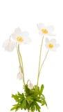 White flower anemone Dubravnaya isolated Royalty Free Stock Image