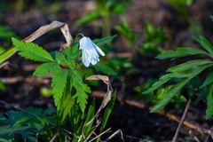 White flower Anemone nemorosa in forest on sunny spring day royalty free stock photography