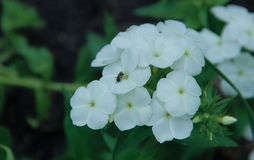 White flower. With ant 1 royalty free stock images