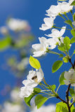 White flower of apple Royalty Free Stock Images