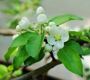 White flower on Apple tree. Apple tree, Apple tree flowers, spring flowering, spring day, spring tree, white flower, macro flower royalty free stock photo