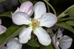 White flower Apple-tree Malus. In the garden around Moscow Royalty Free Stock Photography