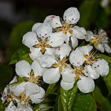 White flower Apple-tree Malus. In the garden around Moscow Stock Image