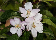 White flower Apple-tree Malus Stock Image