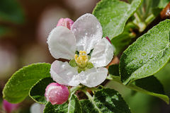 White flower Apple-tree Malus Royalty Free Stock Photography