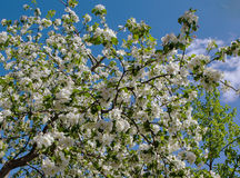 White flower Apple-tree Malus Royalty Free Stock Photo