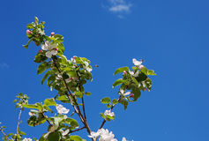 White flower Apple-tree Malus Stock Images