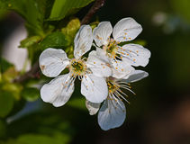 White flower Apple-tree Malus. In the garden around Moscow Stock Photo