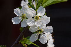 White flower Apple-tree Malus Stock Photo