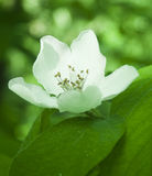 White flower of apple tree Stock Image