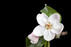White flower apple tree  on pure black background in studio. Stock Photography