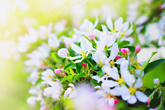 White flower of apple tree Stock Photography