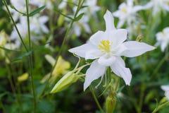 White flower aquilegia closeup Stock Image