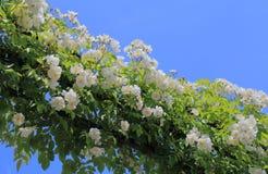 White flower arch garden arcade. In blue sky Stock Photos