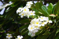 White flower. In Australia Royalty Free Stock Photo