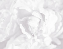 White flower background Stock Images