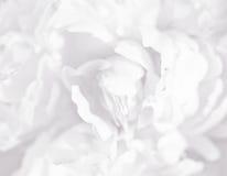 White Flower Background Stock Images